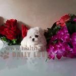 мальтийская болонка щенок мини